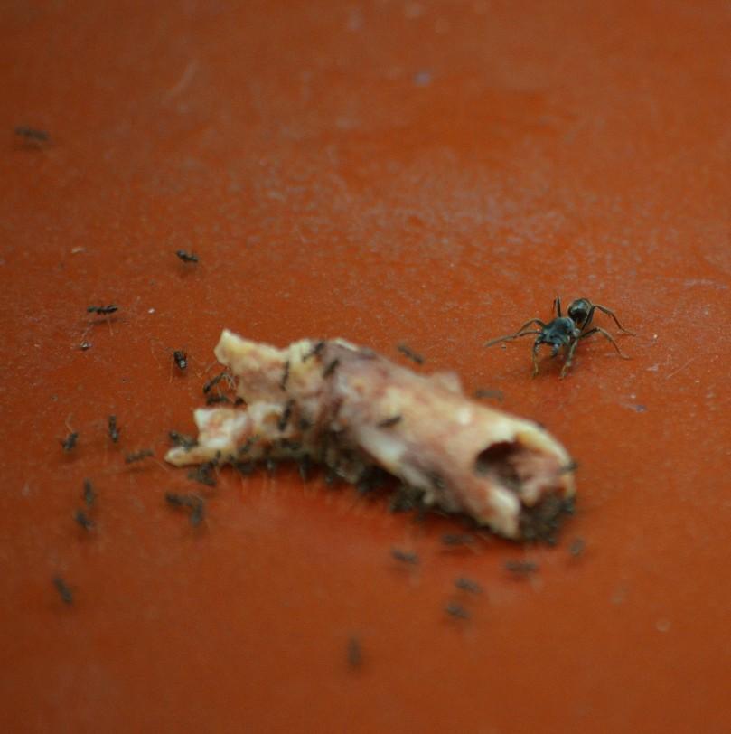 Semut besar datang untuk merebut tulang