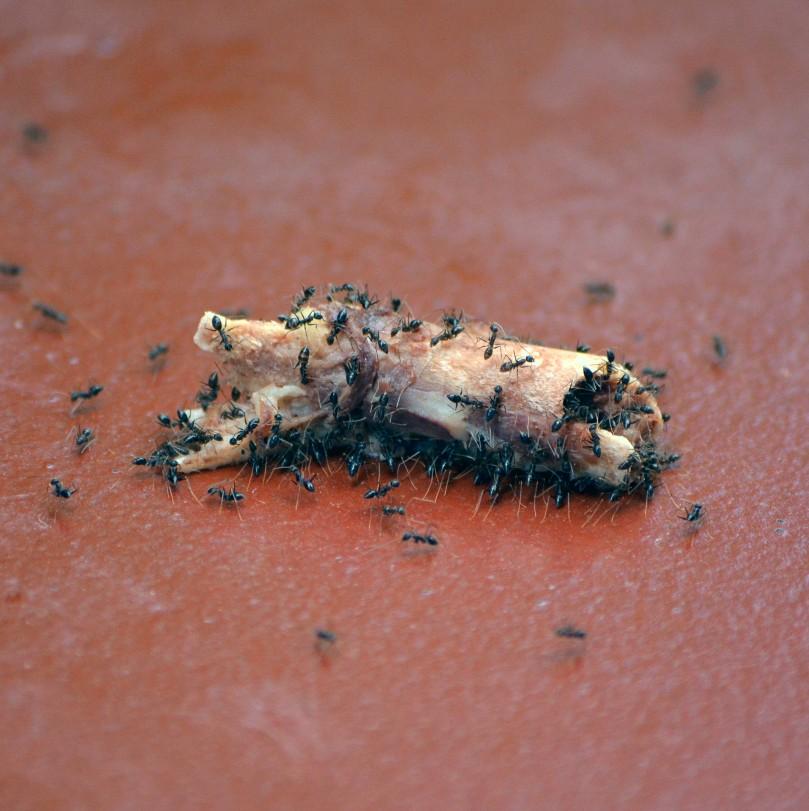 Kawanan semut kecil bergotong royong mengusung sisa tulang
