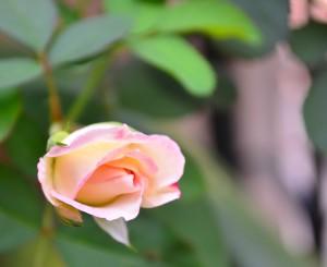 Mawar mungil