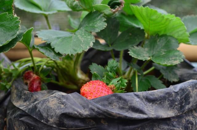 Strawberry-nya ngumpet karena ada blackberry