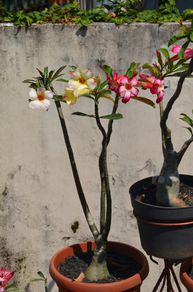 Tanaman dgn 3 warna bunga