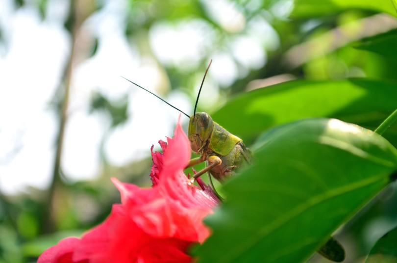 Belalang sedang ngemil bunga