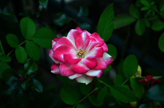 mawar-belang